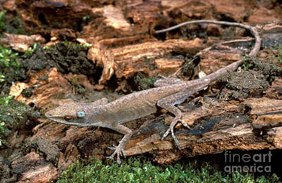 Brown Anole Photograph - Carolina Anole Sequence by ER Degginger