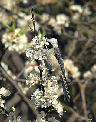 Photograph - Carolina Chickadee Dsb133 by Gerry Gantt