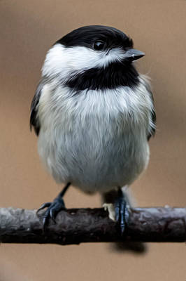 Carolina Chickadee Art Print by John Haldane