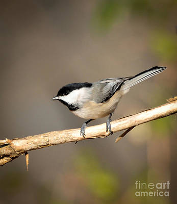Photograph - Carolina Chickadee  by Kerri Farley