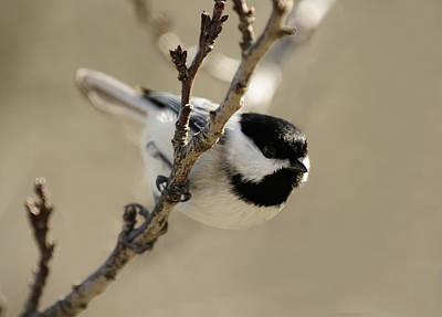 Photograph - Carolina Chickadees by Lara Ellis