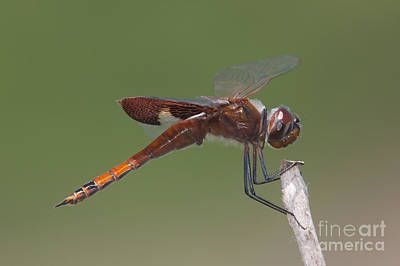 Photograph - Carolina Saddlebags Dragonfly I by Clarence Holmes
