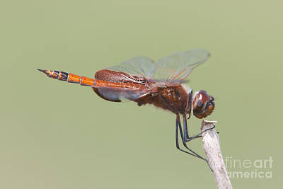 Photograph - Carolina Saddlebags Dragonfly II by Clarence Holmes