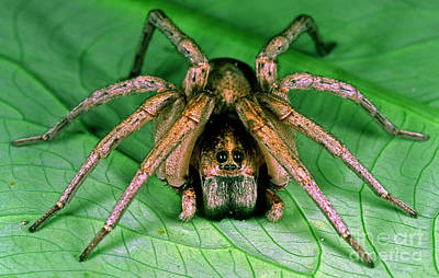 Carolina Wolf Spider Art Print by Millard H. Sharp