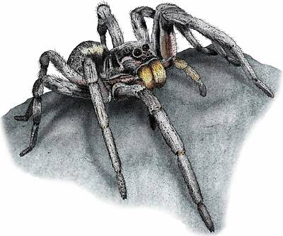 Photograph - Carolina Wolf Spider by Roger Hall