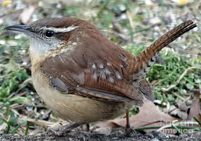 Photograph - Carolina Wren 1 by Gena Weiser