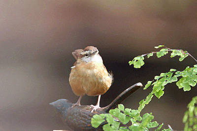 Carolina Wren Art Print by Bob Richter