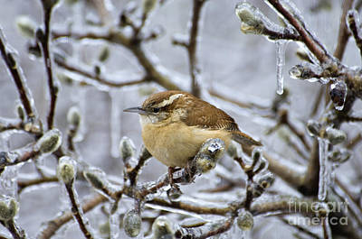 Photograph - Carolina Wren - D008812 by Daniel Dempster