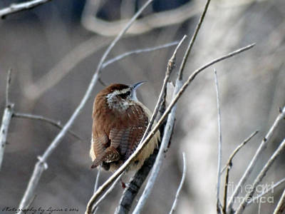 Photograph - Carolina Wren by Gena Weiser