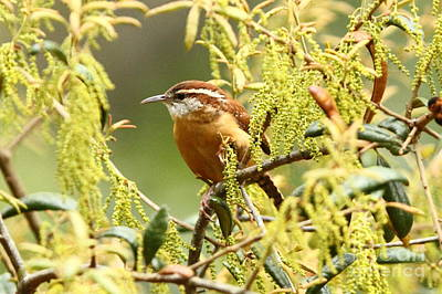 Photograph - Carolina Wren by Jennifer Zelik