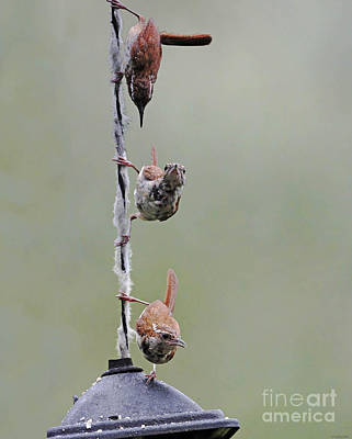 Digital Art - Carolina Wrens by Lizi Beard-Ward