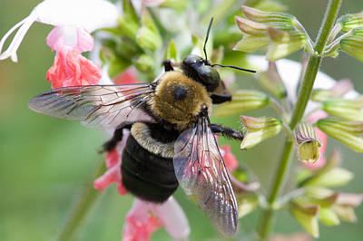 Photograph - Carpenter Bee by Diane Macdonald