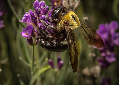 Photograph - Carpenter Bee On A Lavender Spike by Ron Pate