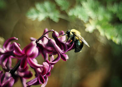 Photograph - Carpenter Bee On Purple Hyacinth by Rebecca Sherman