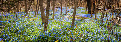 Ontario Photograph - Carpet Of Blue Flowers In Spring Forest by Elena Elisseeva