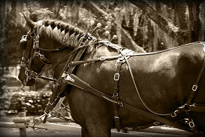 Photograph - Carriage Horse by Larah McElroy