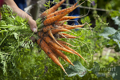 Photograph - Carrots by Jim West