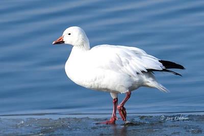 Carter Lake Photograph - Carter Lake Snow Geese by Edward Peterson