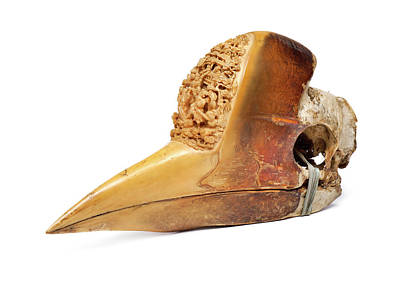 Chordata Photograph - Carved Hornbill Skull by Natural History Museum, London