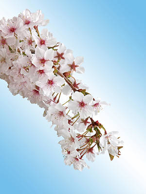 Photograph - Cascading Cherry Blossom by Gill Billington