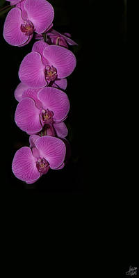 Photograph - Cascading Purple Orchids On Black by Lisa Knechtel