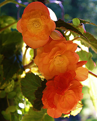 Photograph - Cascading Tangerine Begonias by Liz Evensen