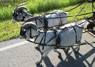 Photograph - Cashmere Harness Goats 11 by Ishana Ingerman