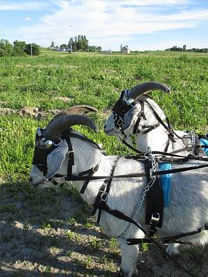 Photograph - Cashmere Harness Goats 12 by Ishana Ingerman