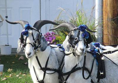 Photograph - Cashmere Harness Goats 2 by Ishana Ingerman