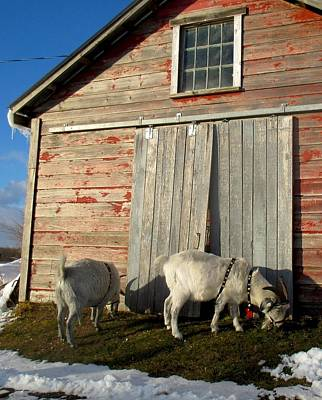 Photograph - Cashmere Harness Goats 4 by Ishana Ingerman