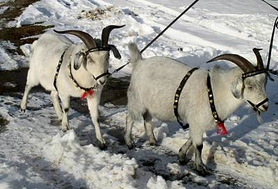 Photograph - Cashmere Harness Goats 6 by Ishana Ingerman