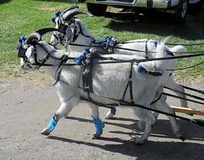 Photograph - Cashmere Harness Goats IIi by Ishana Ingerman