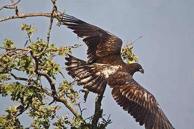 Photograph - Casitas Eagles Fourteen by Diana Hatcher