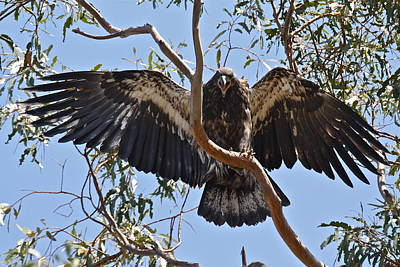 Photograph - Casitas Eagles Nine by Diana Hatcher