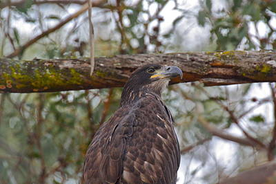 Photograph - Casitas Eagles One by Diana Hatcher
