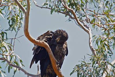 Photograph - Casitas Eagles Seven by Diana Hatcher