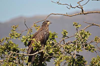 Photograph - Casitas Eagles Seventeen by Diana Hatcher