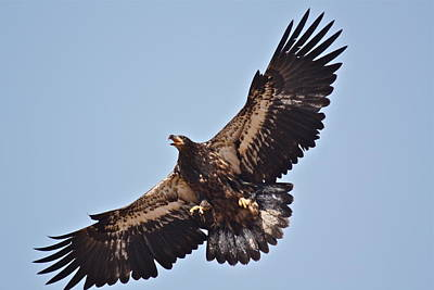 Photograph - Casitas Eagles Six by Diana Hatcher