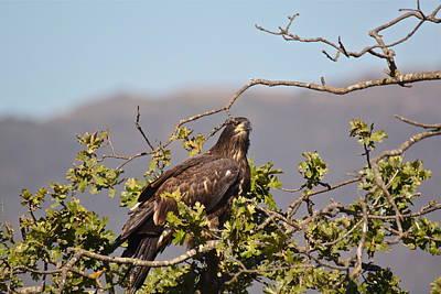 Photograph - Casitas Eagles Sixteen by Diana Hatcher
