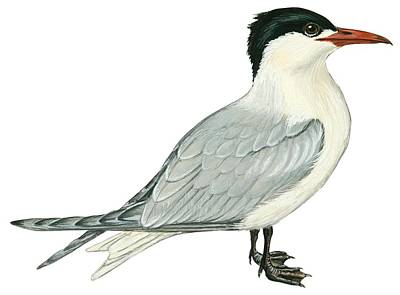 Horizontal Drawing - Caspian Tern by Anonymous