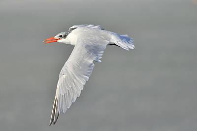 Photograph - Caspian Tern In Flight by Bradford Martin