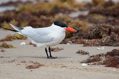 Ditto Photograph - Caspian Tern (sterna Caspia by Larry Ditto