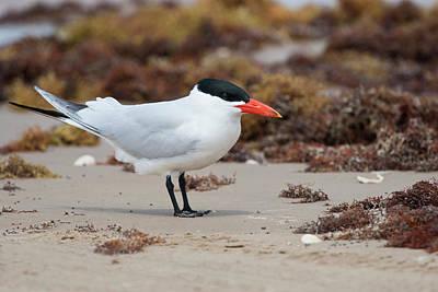 Tern Photograph - Caspian Tern (sterna Caspia by Larry Ditto