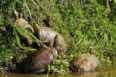 Caspian Turtle (mauremys Caspica) Art Print by Photostock-israel