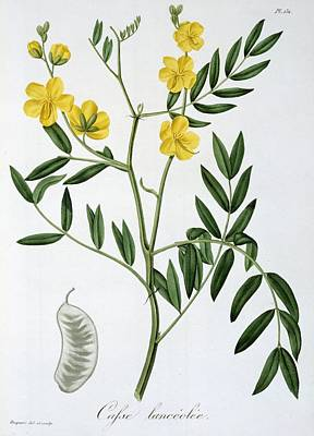 Leaf Drawing - Cassia From Phytographie Medicale by L.F.J. Hoquart