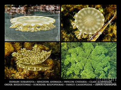 Photograph - Cassiopea Upside-down Jellyfish by Olga Hamilton