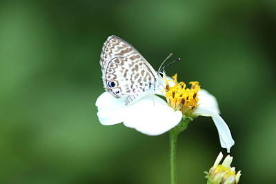 Photograph - Cassius Blue On Wildflower by Greg Allore