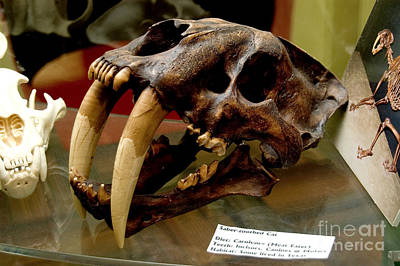Saber-toothed Photograph - Cast Of Skull Of Extinct Saber-toothed by Gregory G. Dimijian, M.D.