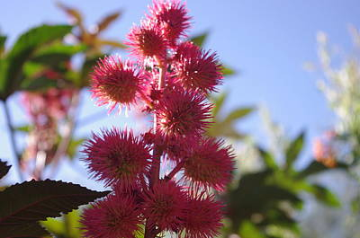 Photograph - Castor Bean by David Rizzo