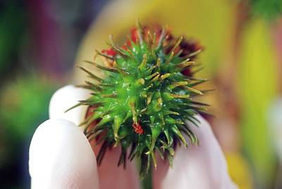 Department Of State Photograph - Castor Bean Pod by Brian Prechtel/us Department Of Agriculture
